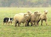 collie rounding sheep